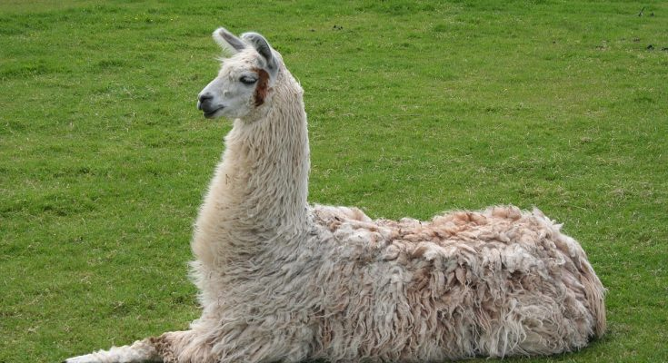 Llama T-Shirts And Tees